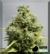 Big bomb feminised medical cannabis seeds for sale